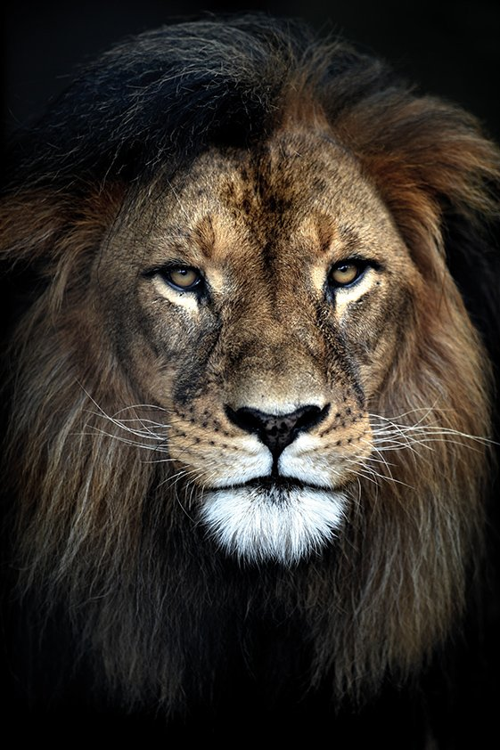 Strong Lion looking to You Aluart