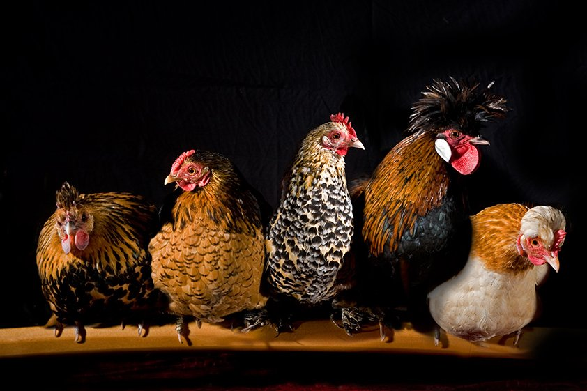 AluArt Mondiart Different species of chickens in a row