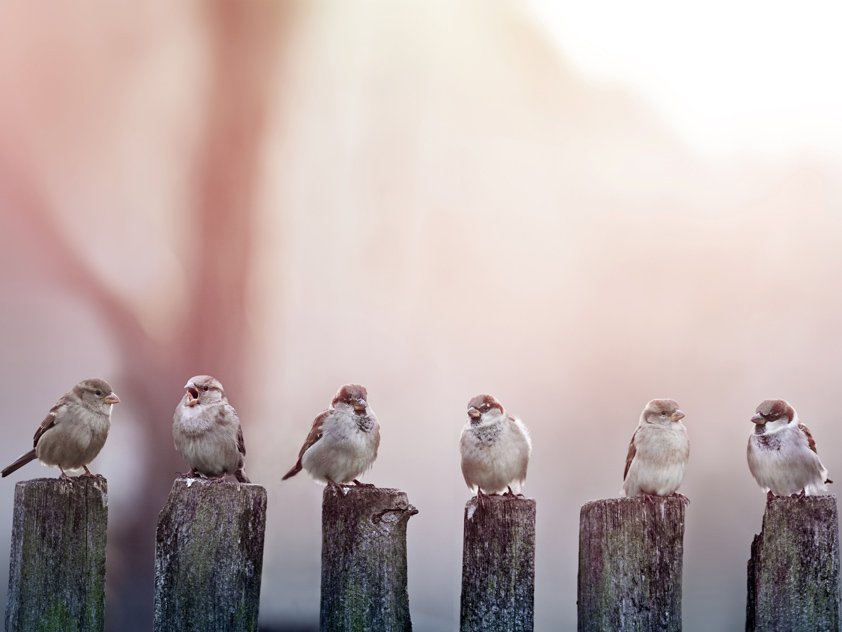 AluArt MA Sparrows in a row on wooden fence