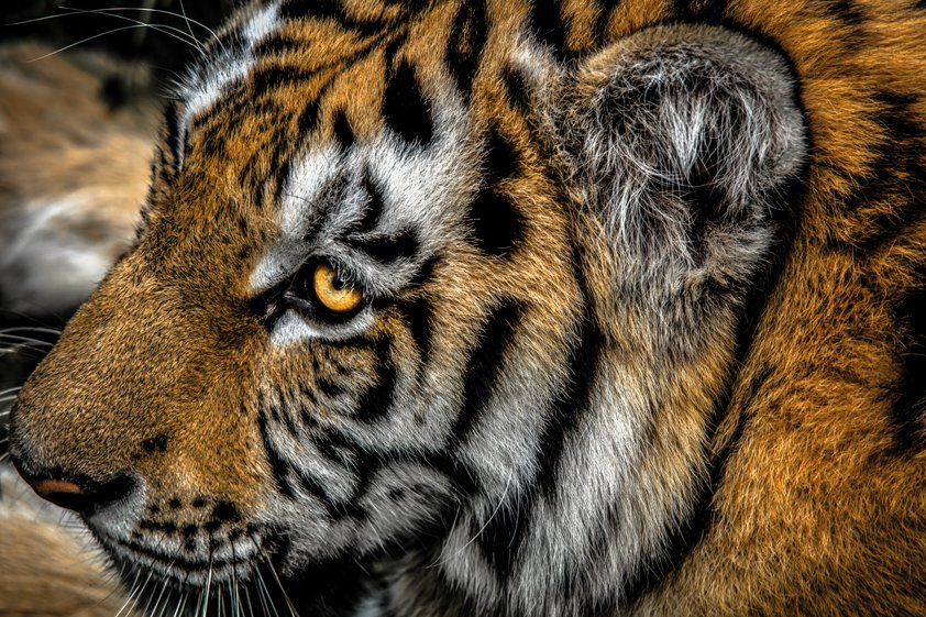 Tiger in Picture Perfect Aluart