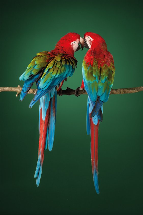 AluArt MA, Two Scarlet Macaws on a perch