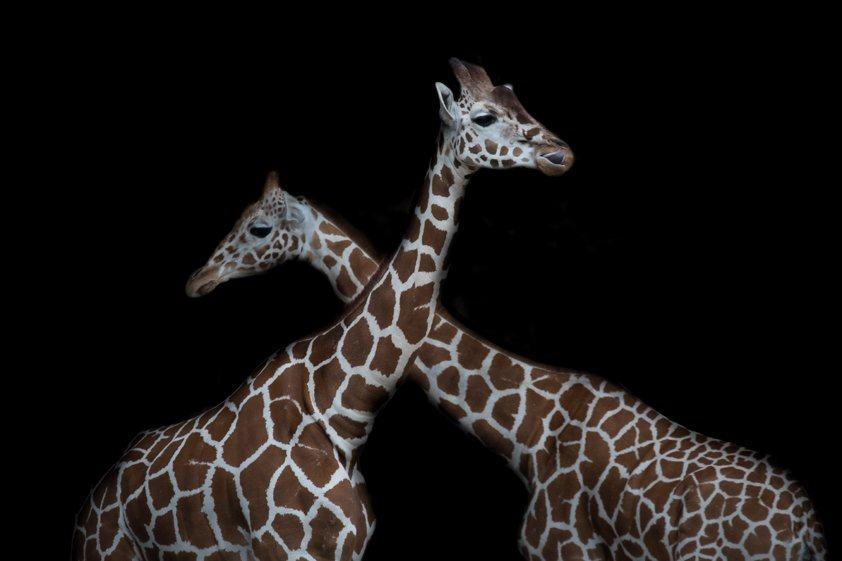 Two reticulated giraffes in front of black background Aluart