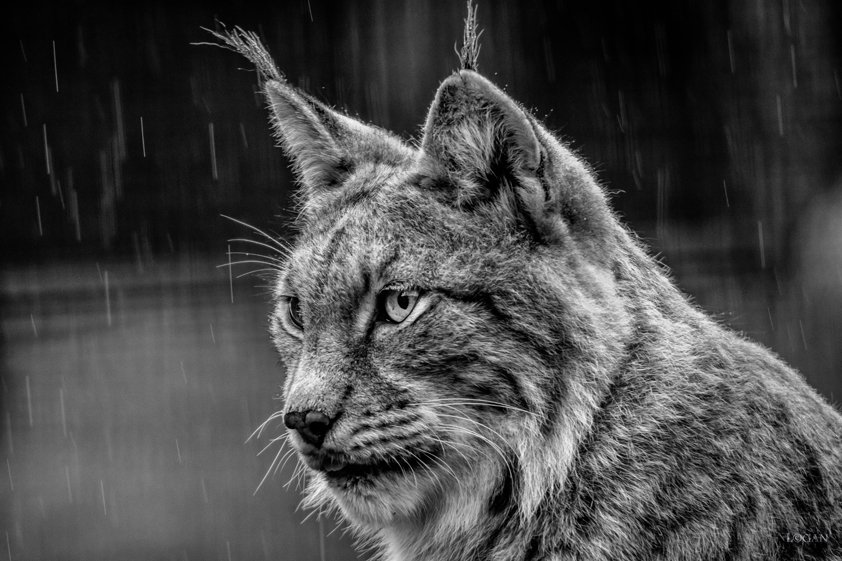 Lynx in Black and White Aluart
