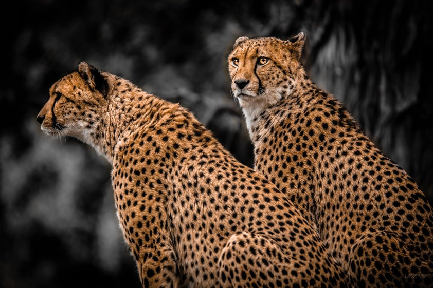 Two Leopards looking Serious Aluart