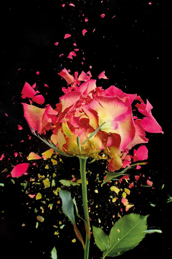 Exploding Pink Rose in Aluart