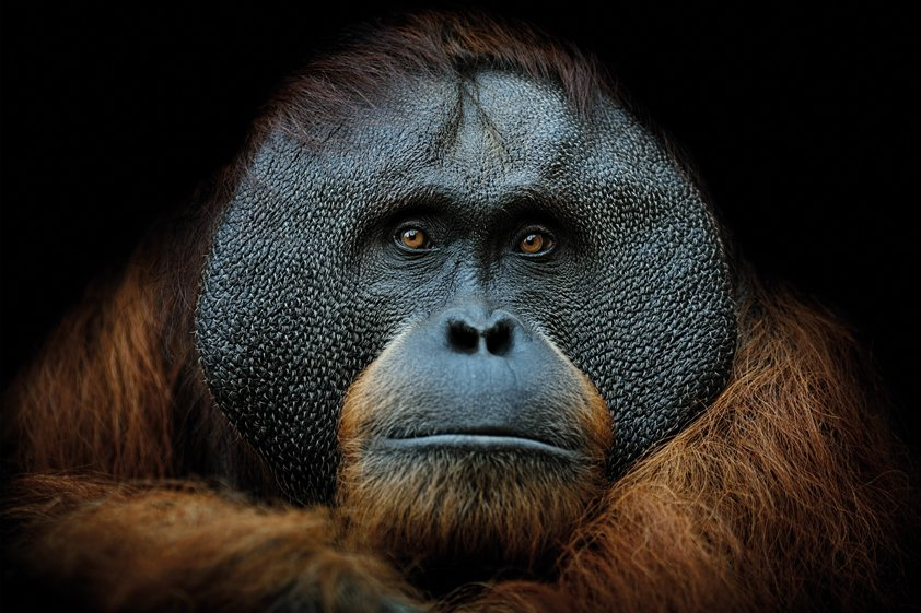 Brown Monkey with black background AluArt