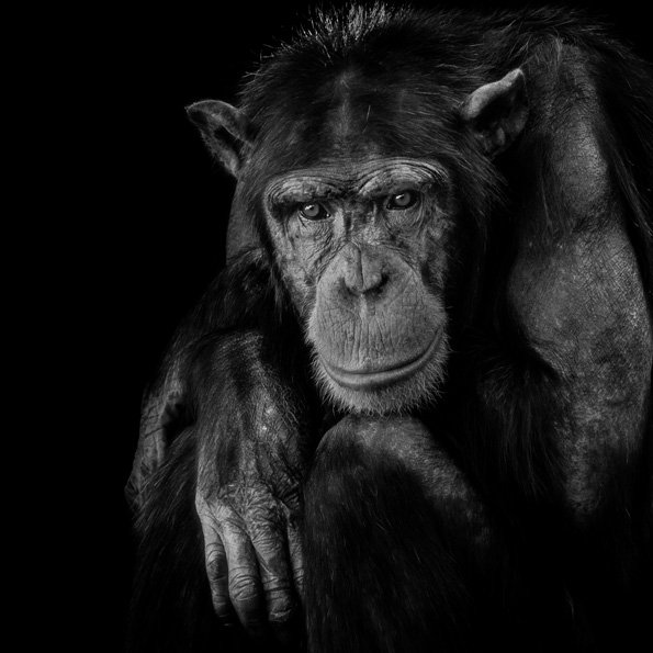 Angry looking Monkey in the dark AluArt