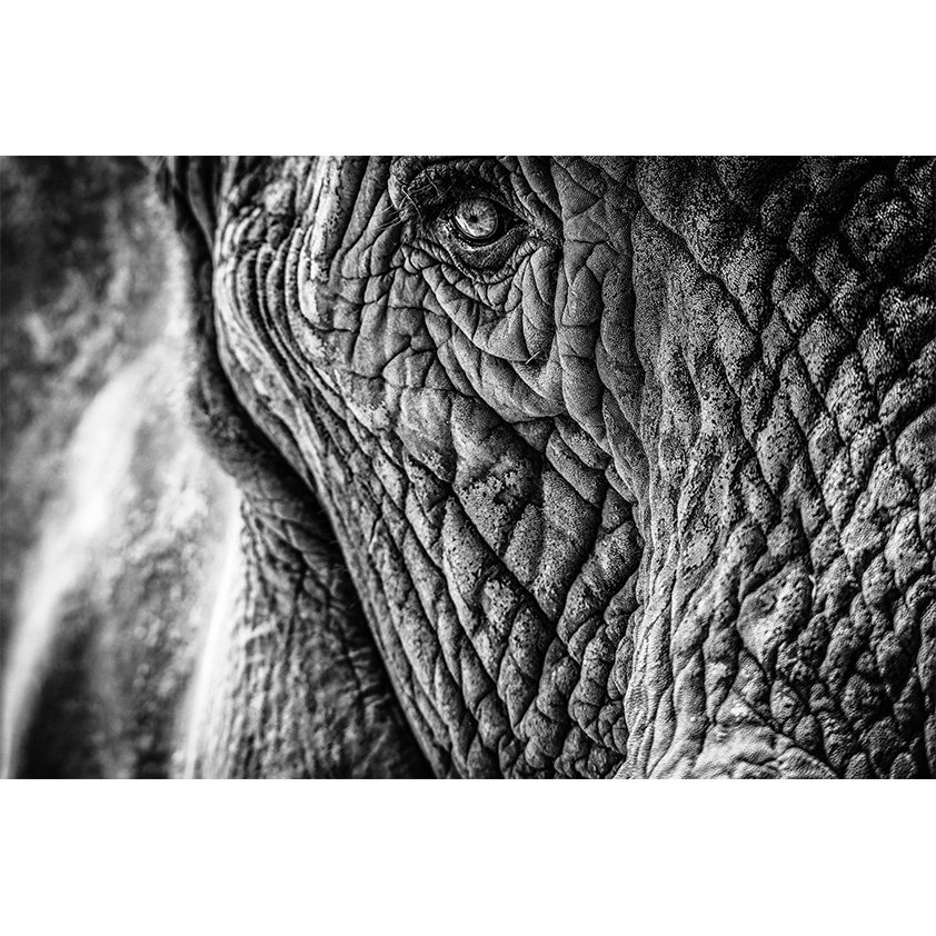 Close-up of an Elephant Black and white AluArt