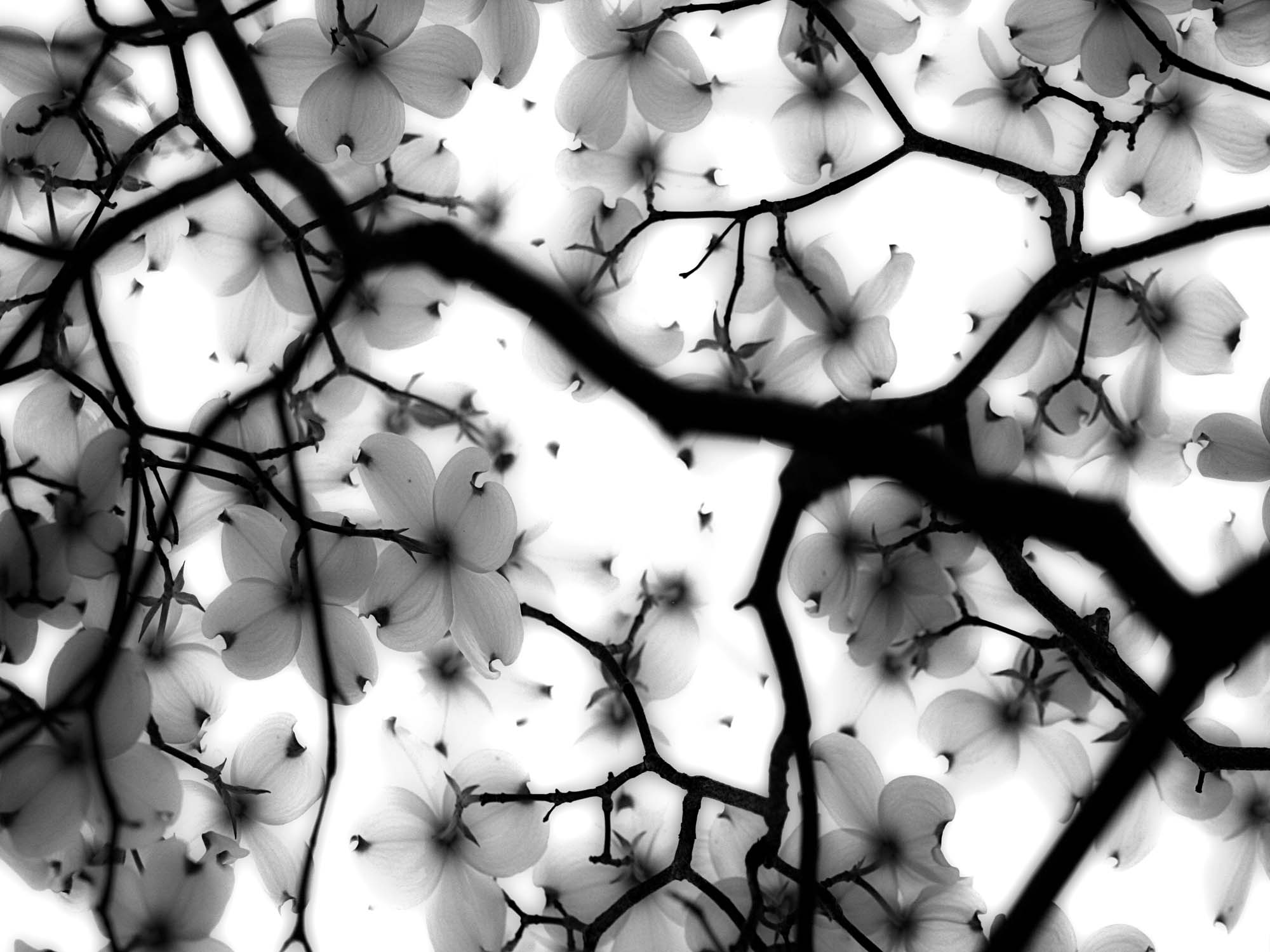 Glass printed Black and White Tree with Flowers