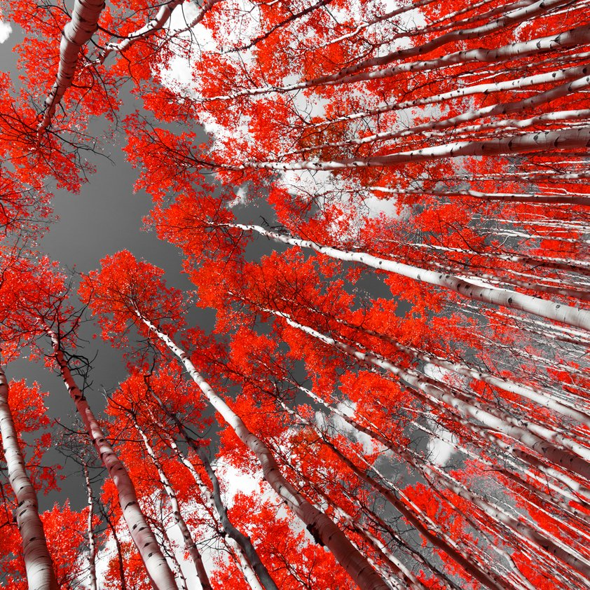 Design Tapijt Forest with Red Trees