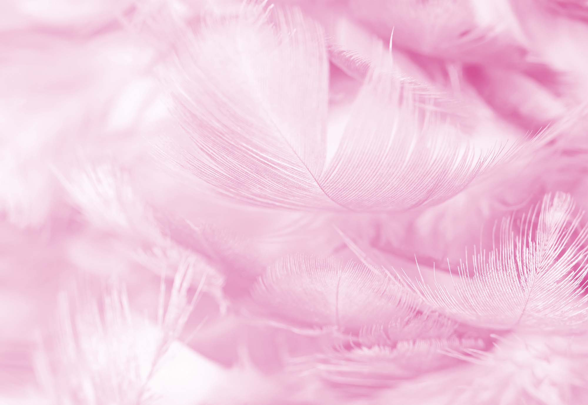 Fotobehang Feathers in Pink